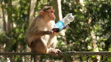 A-common-macaque-monkey-drinking-soda-from-a-plastic-pet-bottle-sitting-on-a-fence