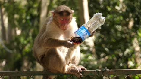 Makaken-Affe-Trinkt-Soda-Aus-Einer-Plastikflasche-Für-Haustiere-Die-Auf-Einem-Zaun-Sitzt