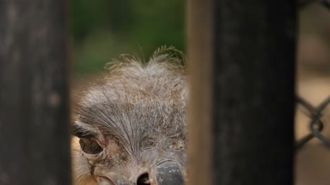 Closeup-of-ostrich-face-through-gaps-in-a-fence
