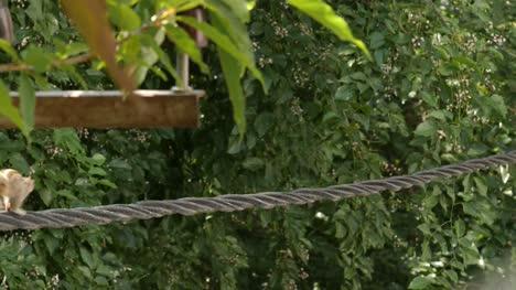 Nahaufnahme-Von-Indischen-Palmeichhörnchen-Oder-Drei-Gestreiften-Palmeichhörnchen-Die-Tagsüber-Auf-Elektrischem-Kabel-Laufen-