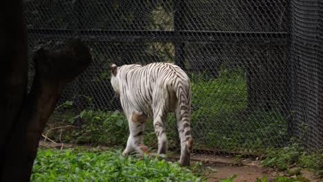 Mittlere-Nahaufnahme-Eines-Royal-Bengal-White-Tigers-Der-In-Der-Nähe-Des-Geheges-In-Einem-Zoo-In-Indien-Spaziert