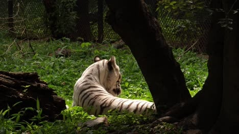 Medium-Closeup-shot-of-a-Royal-Bengal-white-tiger-sitting-under-a-tree-and-licking-its-fur