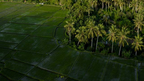 Drone-Shot-Orbiting-Paddies-In-Tropical-Landscape-