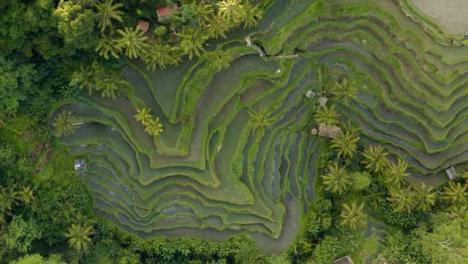 Drone-Shot-Descending-On-Ubud-Tegallalang-Rice-Terraces