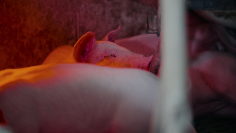 Pigs-At-Livestock-Agriculture-Farm-Pork-Production-Piglet-Breeding-At-Animal-Farm-4