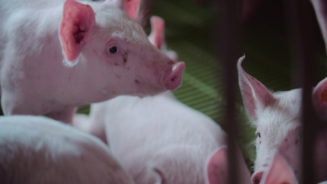 Pigs-At-Livestock-Agriculture-Farm-Pork-Production-Piglet-Breeding-At-Animal-Farm-10