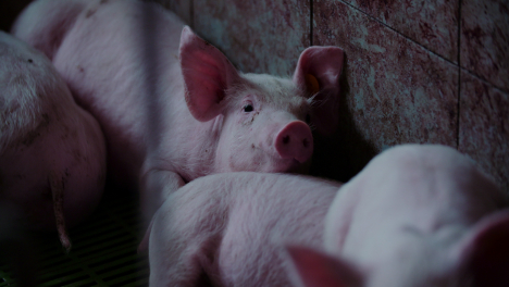 Pigs-At-Livestock-Agriculture-Farm-Pork-Production-Piglet-Breeding-At-Animal-Farm-26