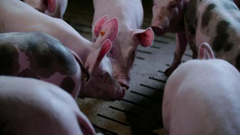 Pigs-At-Livestock-Agriculture-Farm-Pork-Production-Piglet-Breeding-At-Animal-Farm-46