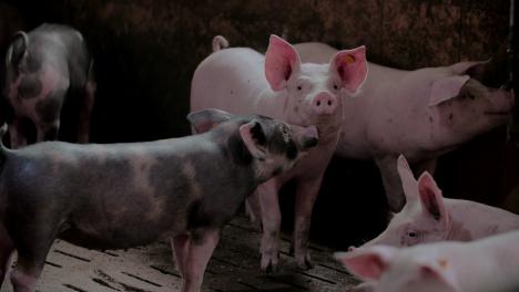 Pigs-At-Livestock-Agriculture-Farm-Pork-Production-Piglet-Breeding-At-Animal-Farm-59