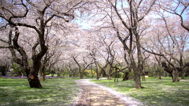 Pasarela-bajo-el-árbol-de-sakura-que-es-la-escena-de-ambiente-romántico-en-Japón