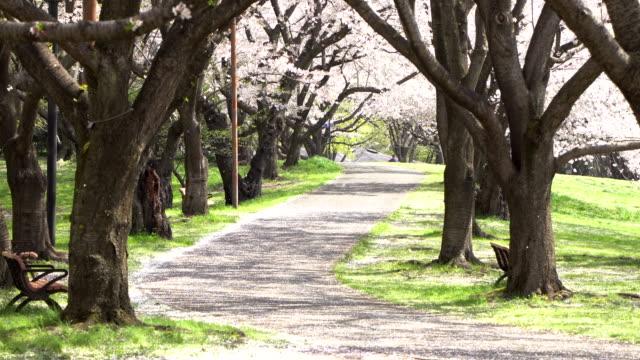 Walkway-under-the-sakura-tree-which-is-the-romantic-atmosphere-scene-in-Tokyo-Japan