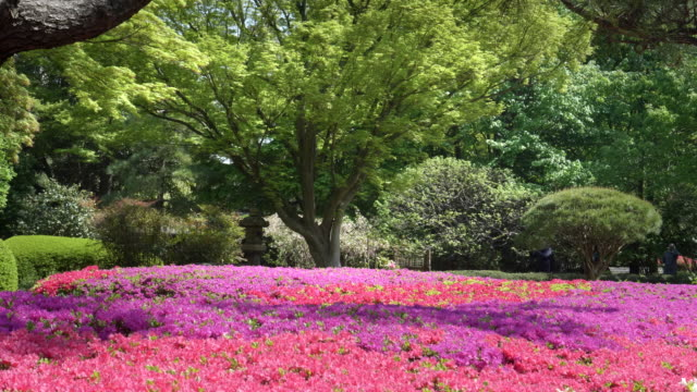 zoom-in-on-flowering-azaleas-and-a-maple-tree-at-the-imperial-palace-tokyo