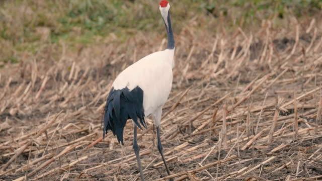Red-crowned-Japanease-Cranes-in-Kushiro-Shitsugen-Hokkaido-Japan-Filmed-in-4K