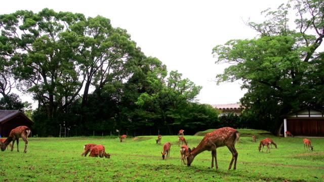 Nara-deer-roam-free-in-Nara-Park-Japan-for-adv-or-others-purpose-use