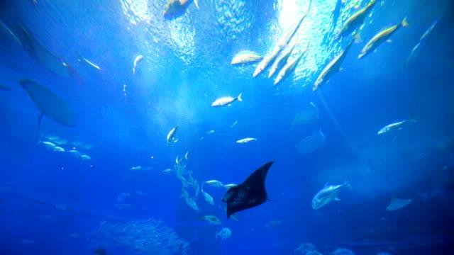 Escuela-de-peces-rayas-tiburones-ballena-