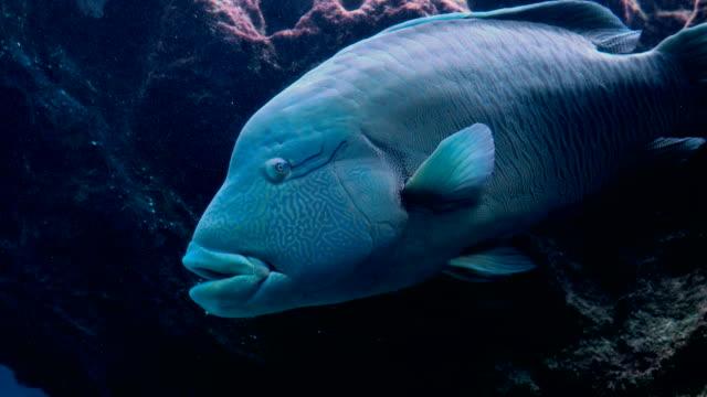 Napoleon-Fish-in-Sea-