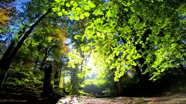 Beech-forest-beech-woods-fagus-Buchenwald-laubwald-deciduous-forest-wood-beech-leaves-autumn-Spessart-bavaria-4K