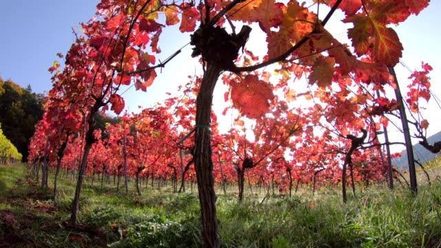 Viñedo-con-coloridas-hojas-de-otoño-otoño-Elsenfeld-Rück-Mainfranken-Spessart-Bayern-4K