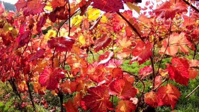 Viñedo-con-coloridas-hojas-de-otoño-steadycam-otoño-Elsenfeld-Rück-Mainfranken-Spessart-Bayern-4K