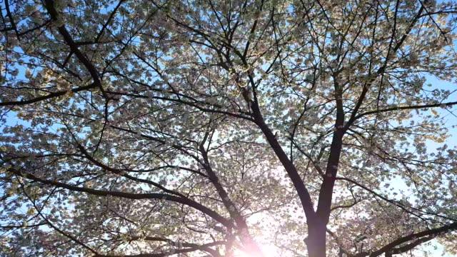 Caminando-bajo-los-cerezos-en-flor-en-plena-floración-con-luz-de-sol-de-la-mañana-durante-las-fiestas-tradicionales-la-Prefectura-de-Sendai-Japón