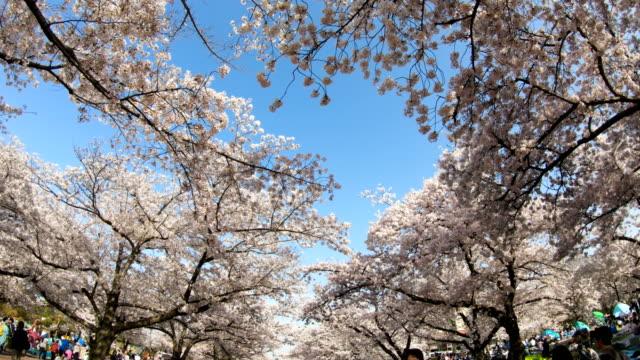 Sakura-flor-de-cerezo
