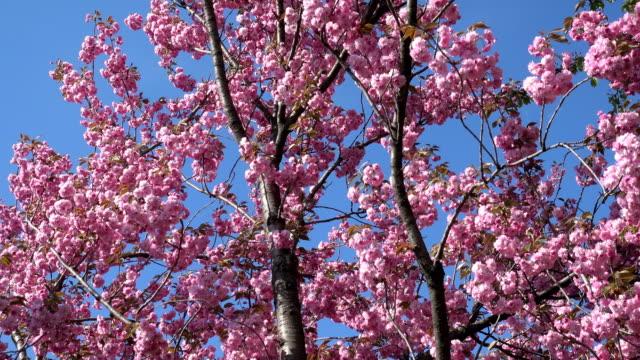Flowering-sakura-pink-tree