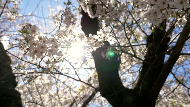 Cherry-blossoms-Sakura-in-full-bloom-on-blue-sky-background-with-sun-flare-