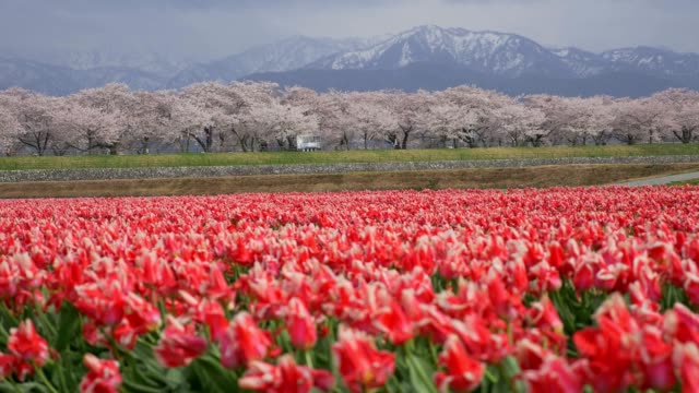 Beautiful-Tulip-fields-with-Sakura-trees-and-snow-mountain-background