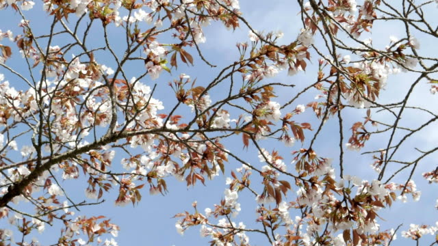 cherry-blossoms-on-branches-against-a-blue-sky-at-kyoto-in-japan