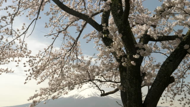 gimbal-clip-of-mt-fuji-and-a-large-cherry-tree-in-blossom-at-japan