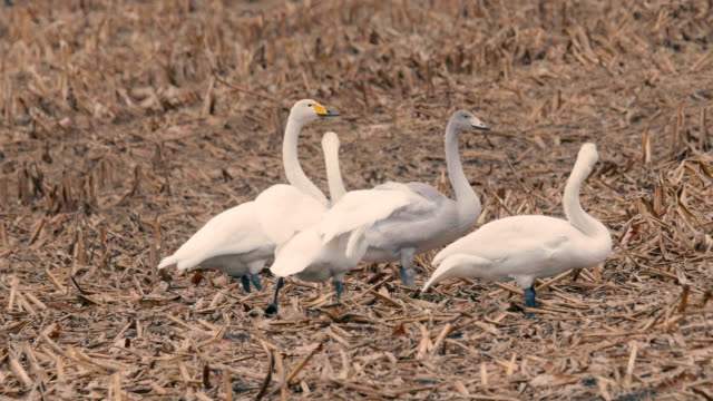White-Swans-in-Kushiro-Shitsugen-Hokkaido-Japan-Filmed-in-4K