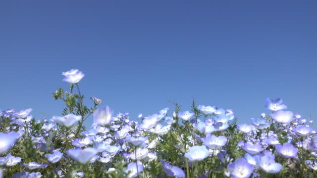 Nemophila-flowers-blooming-in-spring