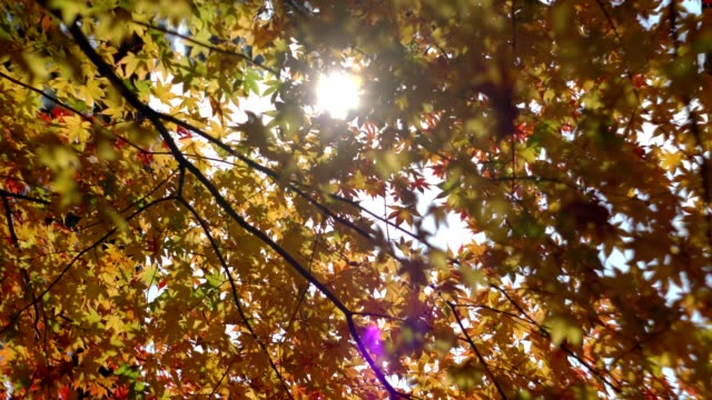 walking-under-maple-tree-in-autumn-park-with-colorful-leaves