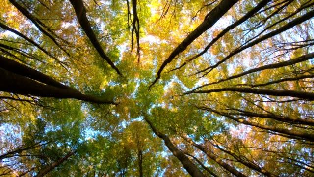 Beech-forest-beech-woods-fagus-rotation-turns-Buchenwald-laubwald-deciduous-forest-wood-beech-leaves-autumn-Spessart-bavaria-4K