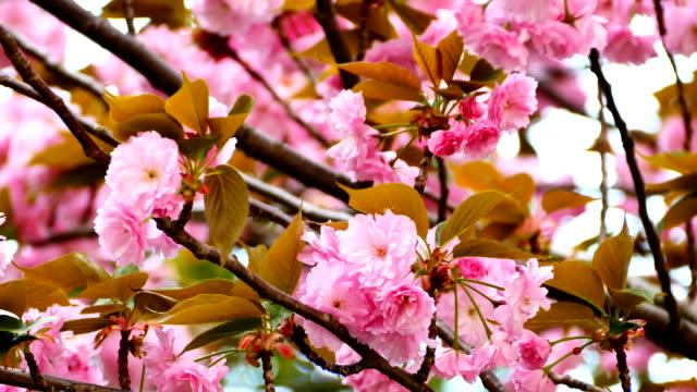 Natur-Video-in-der-Nähe-bis-Japan-Kirschbäume-blühen-auf-dem-Kirschbaum-sind-Wind-voller-Blüte-im-Frühling-4K-oder-UHD-Auflösung-