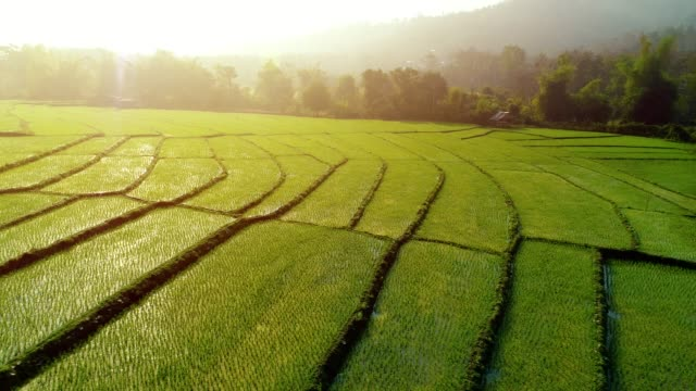 4k-Video-shot-aerial-view-by-drone-Rice-Field-on-sunrise-