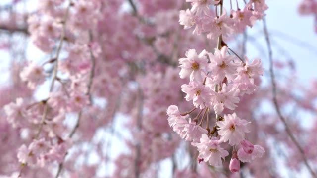 Cherry-blossoms-Sakura-in-full-bloom-on-blue-sky-background-