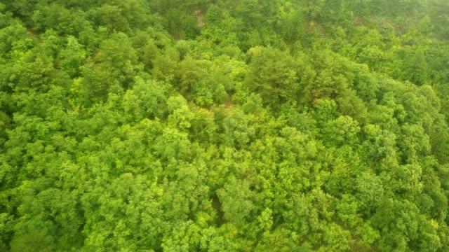 vuelo-del-abejón-por-encima-de-los-árboles-madera-de-pino-de-montaña-en-un-día-de-lluvia-tormentoso