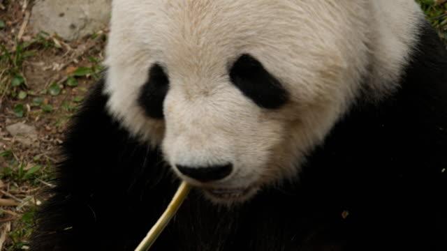 alto-ángulo-de-cerca-de-un-panda-gigante-de-alimentación