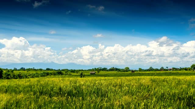 Green-rice-field-under-clouds-time-lapse