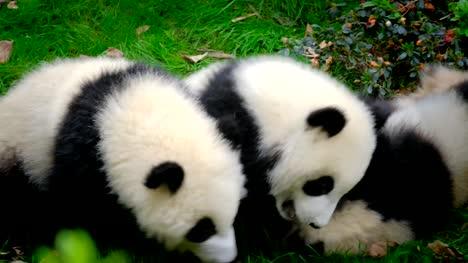 Giant-panda-bear-cub-on-a-tree