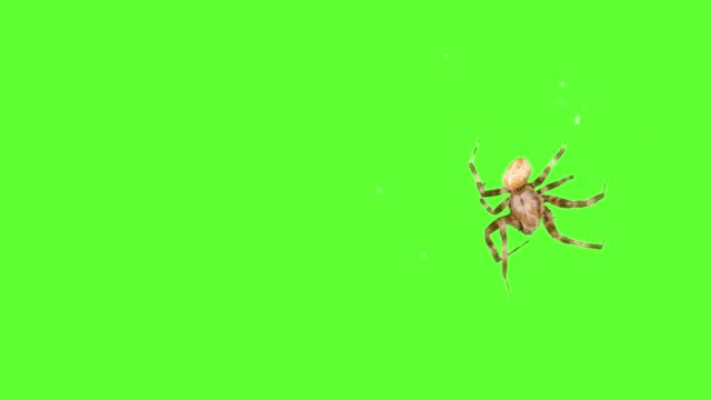 Insect-spider-running-around-the-screen-on-a-green-background-Logo-screensaver-One-click-selection-and-overlay-in-the-video-editor