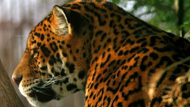 Close-up-of-a-female-jaguar-(Panthera-onca)-