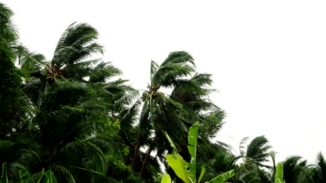 Palm-trees-blowing-in-the-wind-during-hurricane
