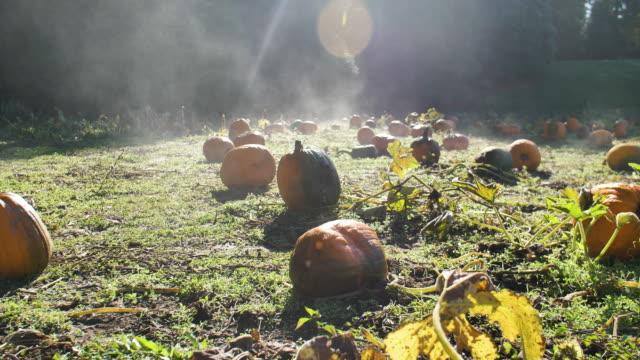 Foggy-Field-of-Ripe-Pumpkins-in-Sunlight-During-October