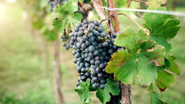 Vineyard-Red-Wine-Grapes-on-the-Vine-of-Winery