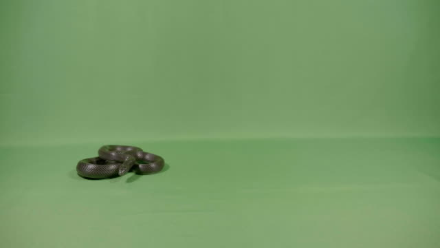 Black-snake-curled-up-sniffing-and-moving-his-tongue-on-green-screen