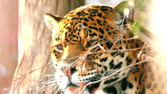 Primer-plano-de-un-mujer-jaguar-(Panthera-onca)-