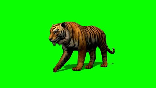 tiger-walks-on-green-screen