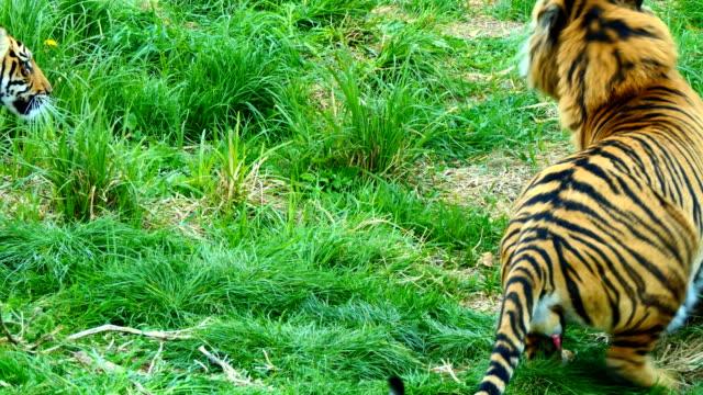 Hombre-tigre-jugando-con-sus-dos-cachorros